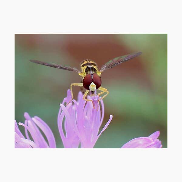 Hoverfly on Thistle Flower Photographic Print