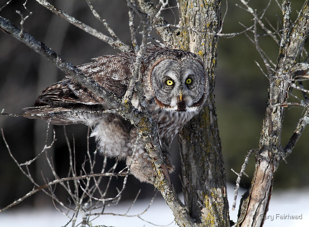 Sticky Situation / Great Grey Owl by Gary Fairhead