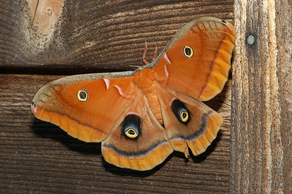 Polyphemus Moth by Michael L Dye