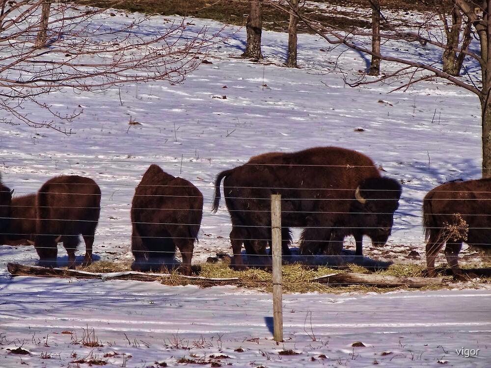 American Buffalo by vigor