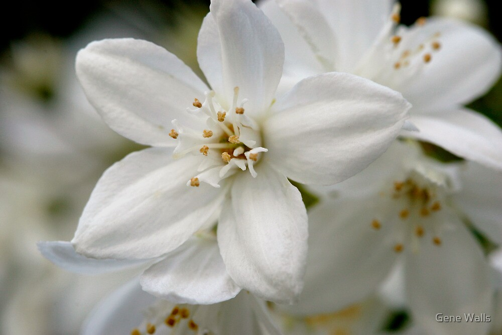 Late Spring's Pure White Blossoms (as-is) by Gene Walls