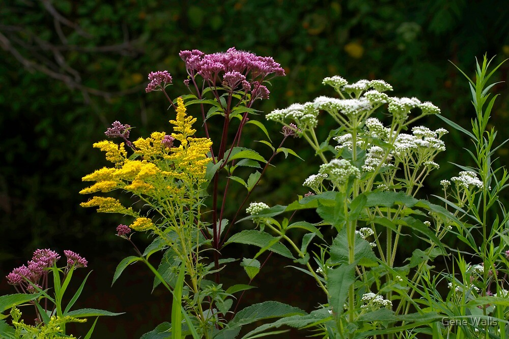 Buttonwood Wildflowers by Gene Walls