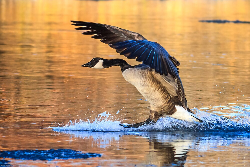 Canada Goose: Setting down for The Night by John Williams
