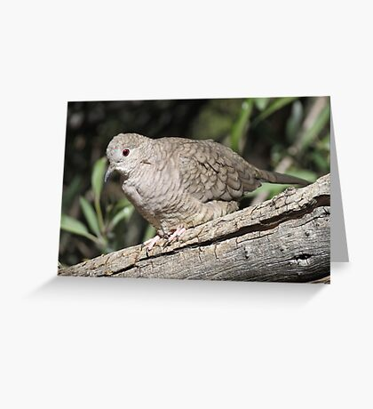 Inca Dove Greeting Card