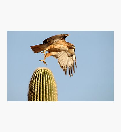 Red-tailed Hawk ~ Prickly Take-off Photographic Print