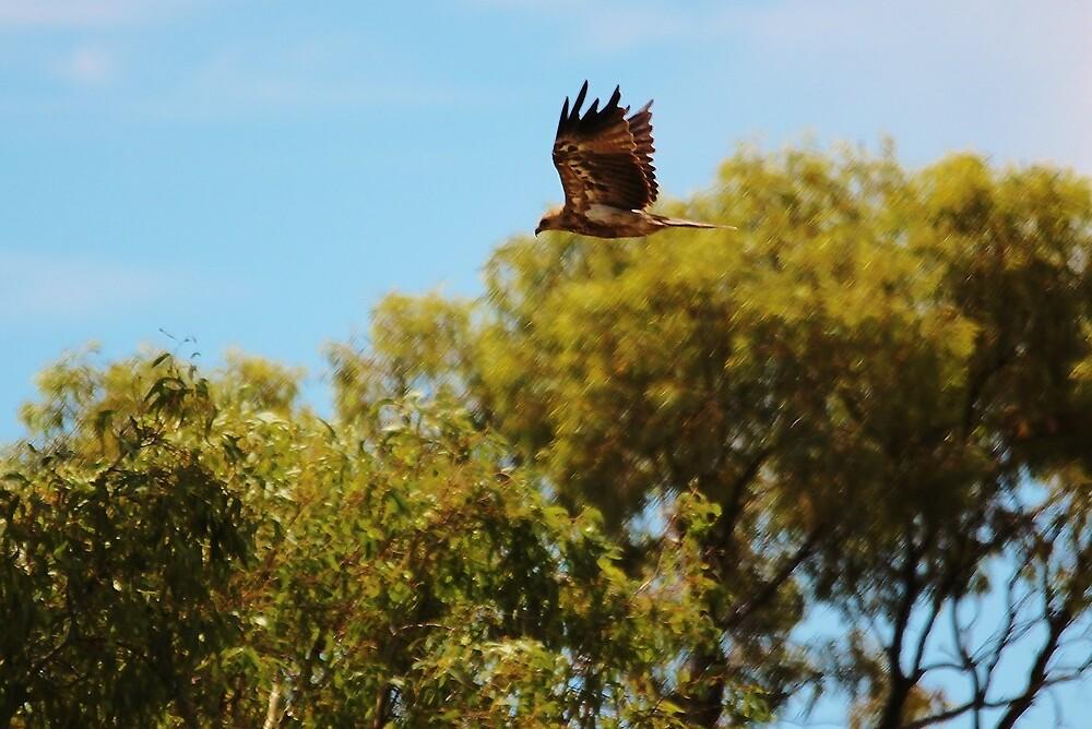 Whistling Kite - Mildura by brendanscully