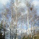 Birch by Ana Belaj