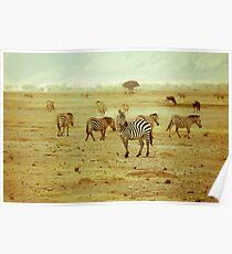 Zebras in Serengeti National park Poster