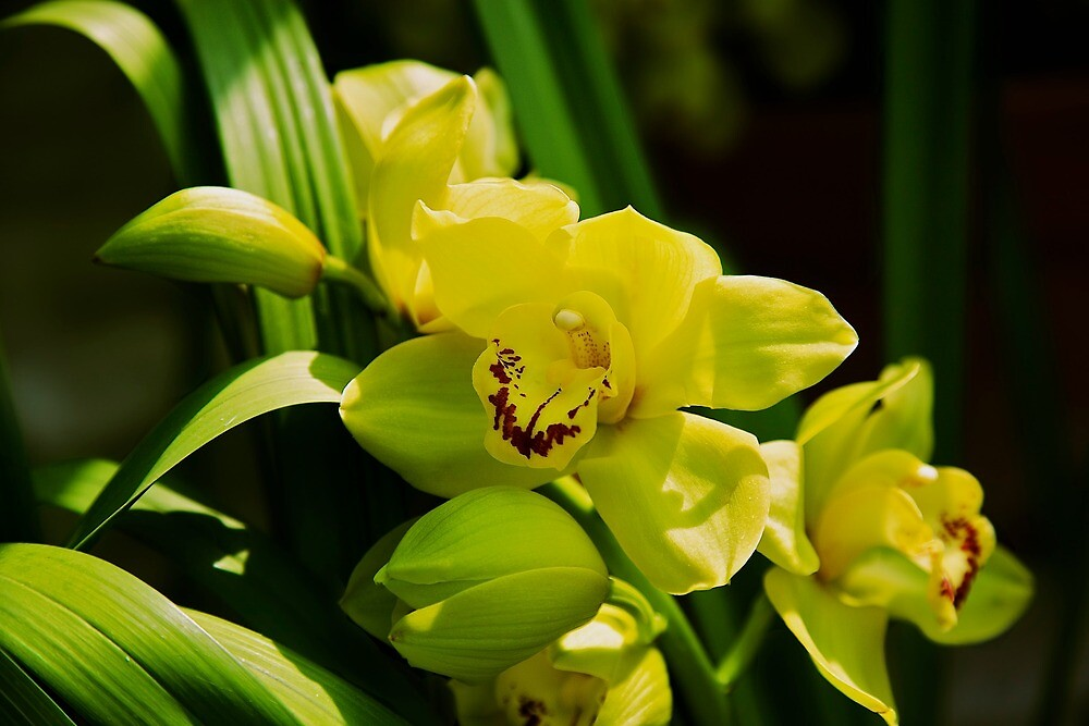 yellow orchid  by thvisions