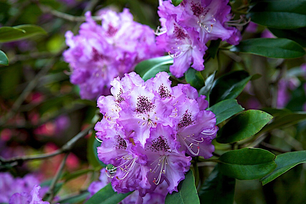 rhododendron flower by thvisions