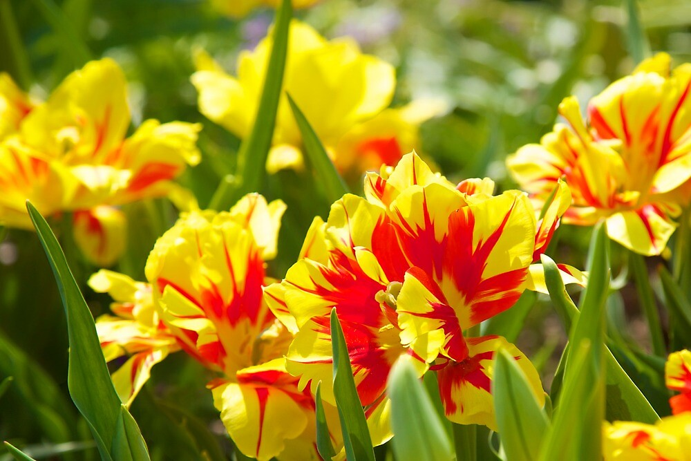 red and yellow tulips by thvisions