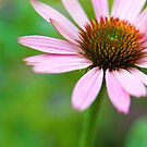 Echinacea purpurea by Harald Walker