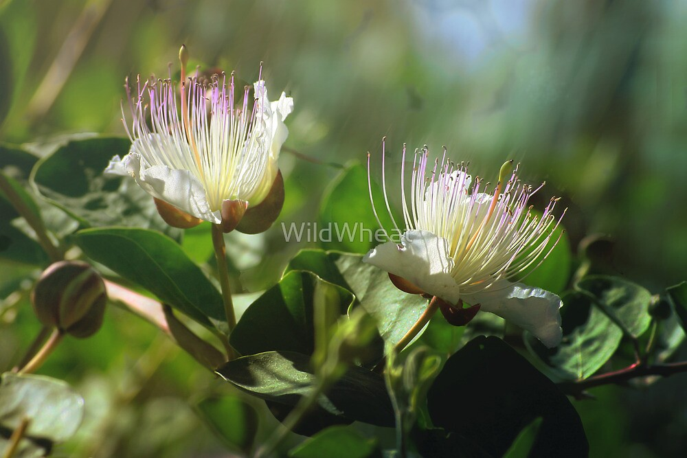 Caper Flowers by WildWheat