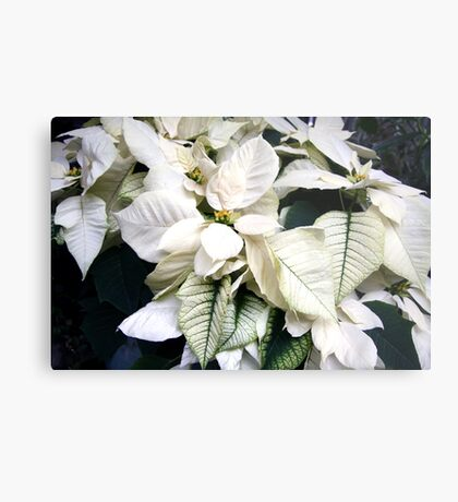 Winter White - Poinsettia Metal Print
