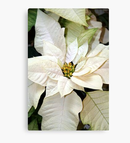 Winter White - Poinsettias Canvas Print