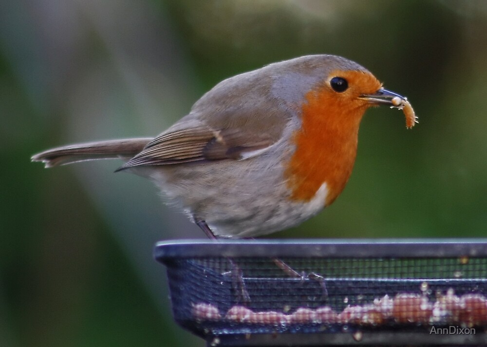Robin and a mealworm by AnnDixon