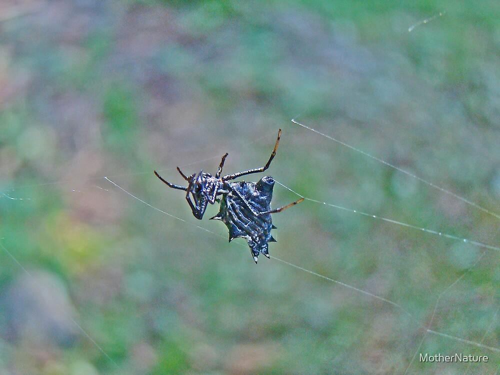 Spined Micrathena Orb Weaver Spider - Micrathena gracilis by MotherNature