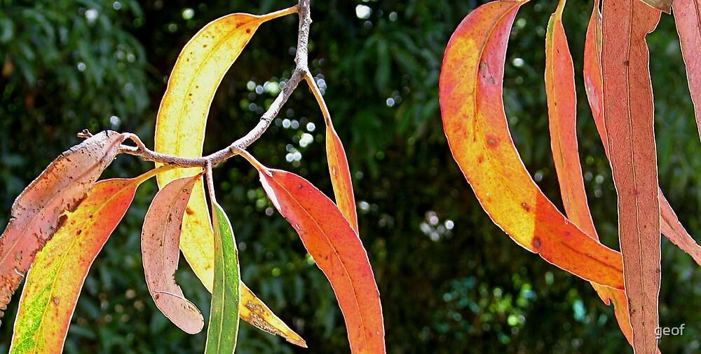 Australia Day offering - Eucalyptus (tree) leaves by geof