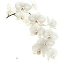 White Orchid iPhone Case by AlysonArtShop