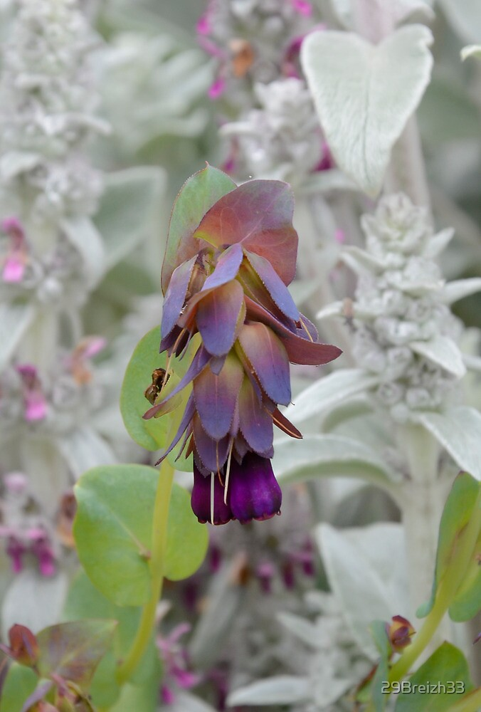 Cerinthe Major Purpurascens by 29Breizh33