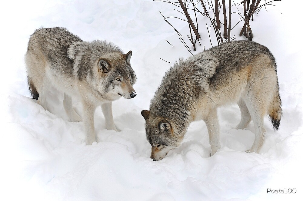 Wolves : The Widsom of Snow by Poete100