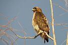 Red-tailed Hawk ~ Perch Perfect by Kimberly Chadwick