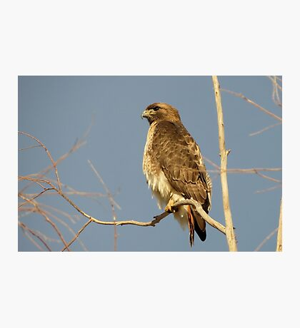 Red-tailed Hawk ~ Perch Perfect Photographic Print