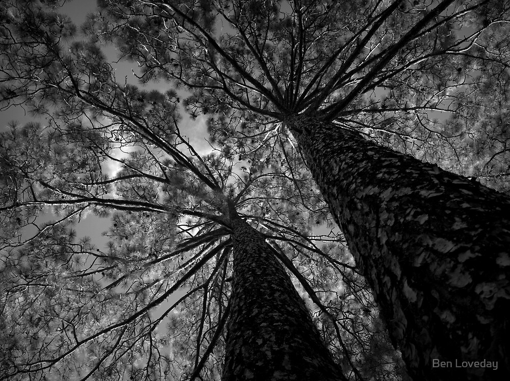 Scary Tree- Pine, Adelaide Botanic Park by Ben Loveday