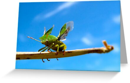 Shield Bug by Hannah Sterry