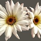 Pair of White Daisies by Susan Savad