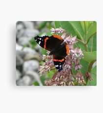 Red Admiral searching for open flowers Canvas Print