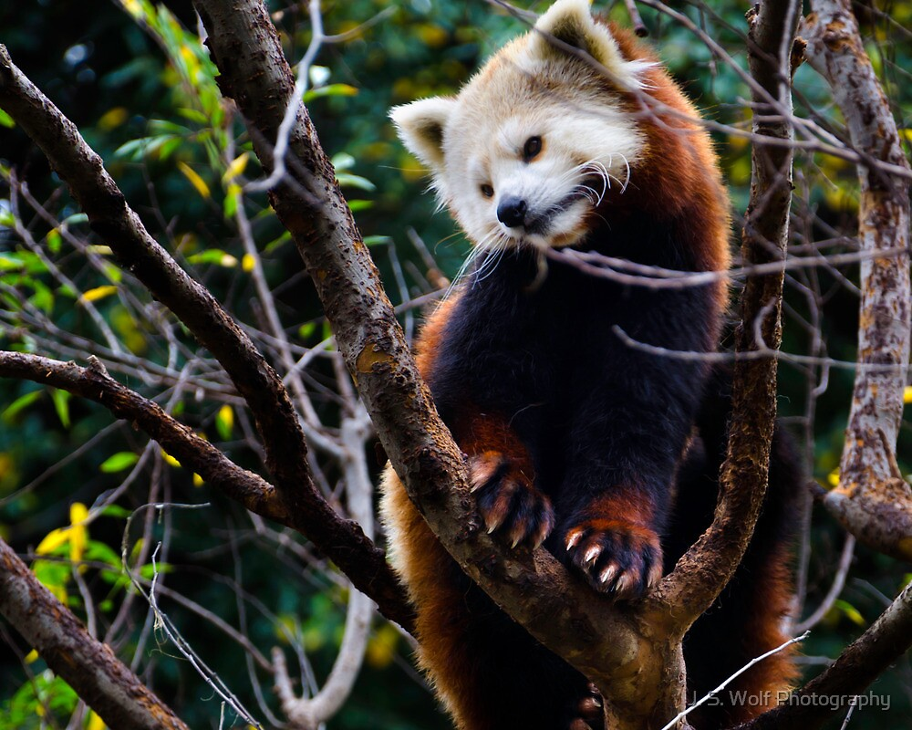 Red Panda by jswolfphoto
