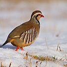 Red-legged partridge (Alectoris rufa), Scotland by Gabor Pozsgai