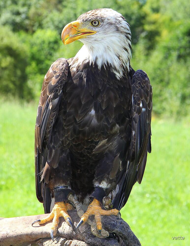 Bald Eagle captured at Omega Park, Quebec, Canada by vette
