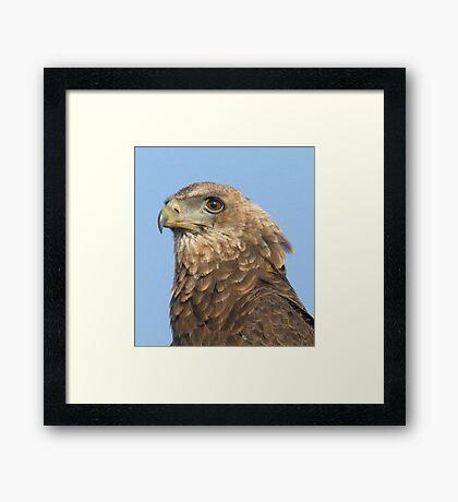 Juvenile Bateleur Eagle Framed Print