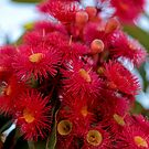Australian Red Gum by TeAnne
