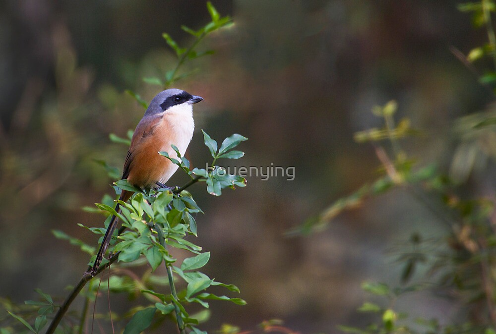 The china birds - pd by houenying