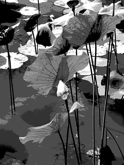 Water lilies in black and white by Sally Squirrell
