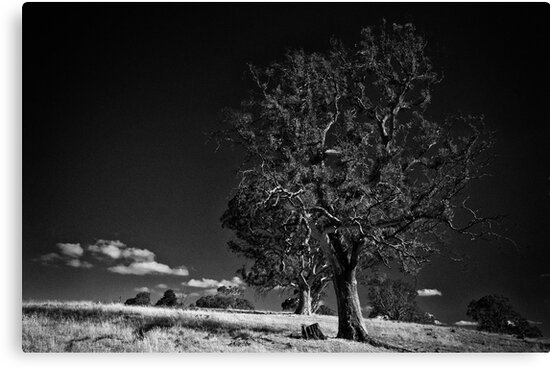 Majestic tree #3 by Lee Hopkins