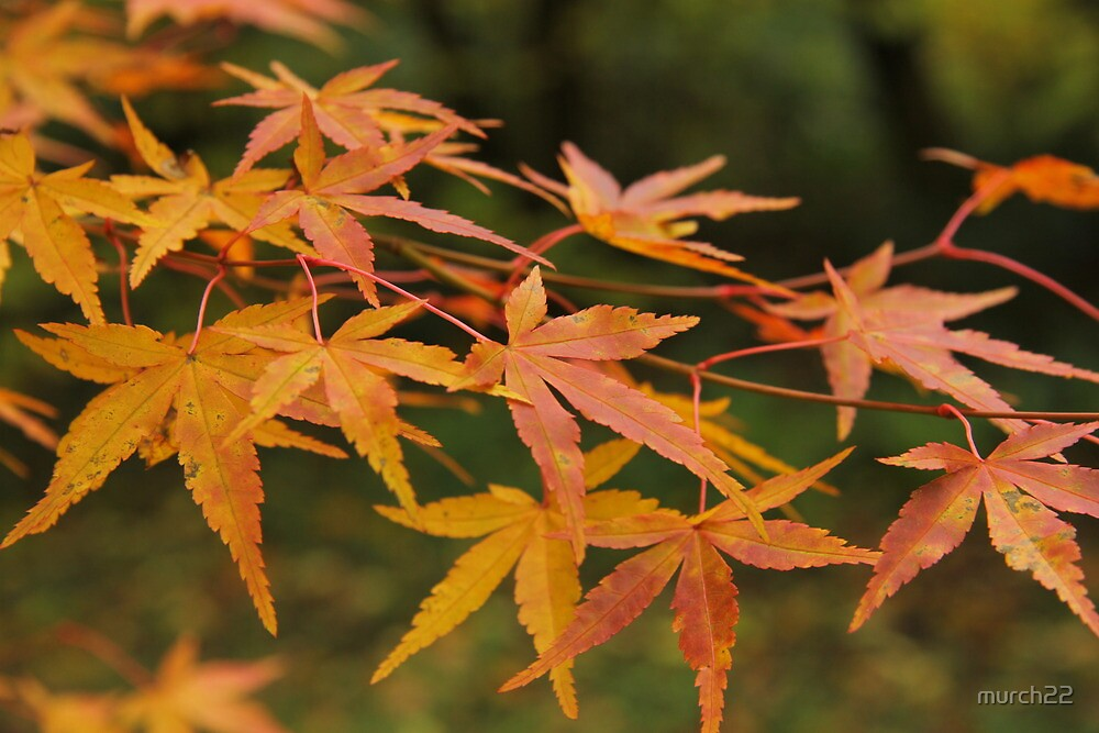 maple leaves by murch22