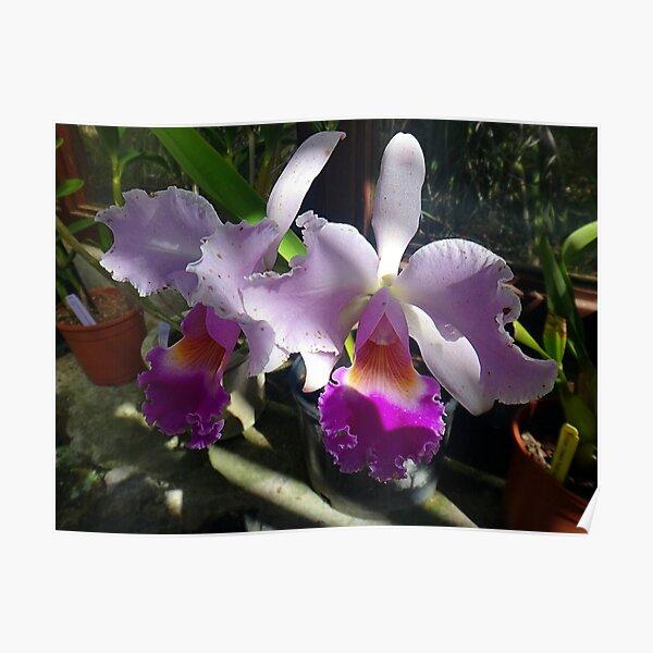 Cattleya Warneri Orchids Poster