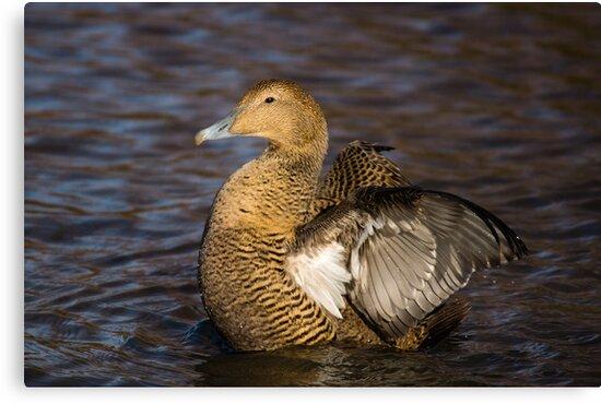 Female Eider Duck by Cliff Williams