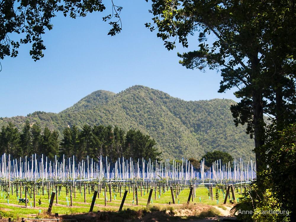 kiwifruit vines by Anne Scantlebury