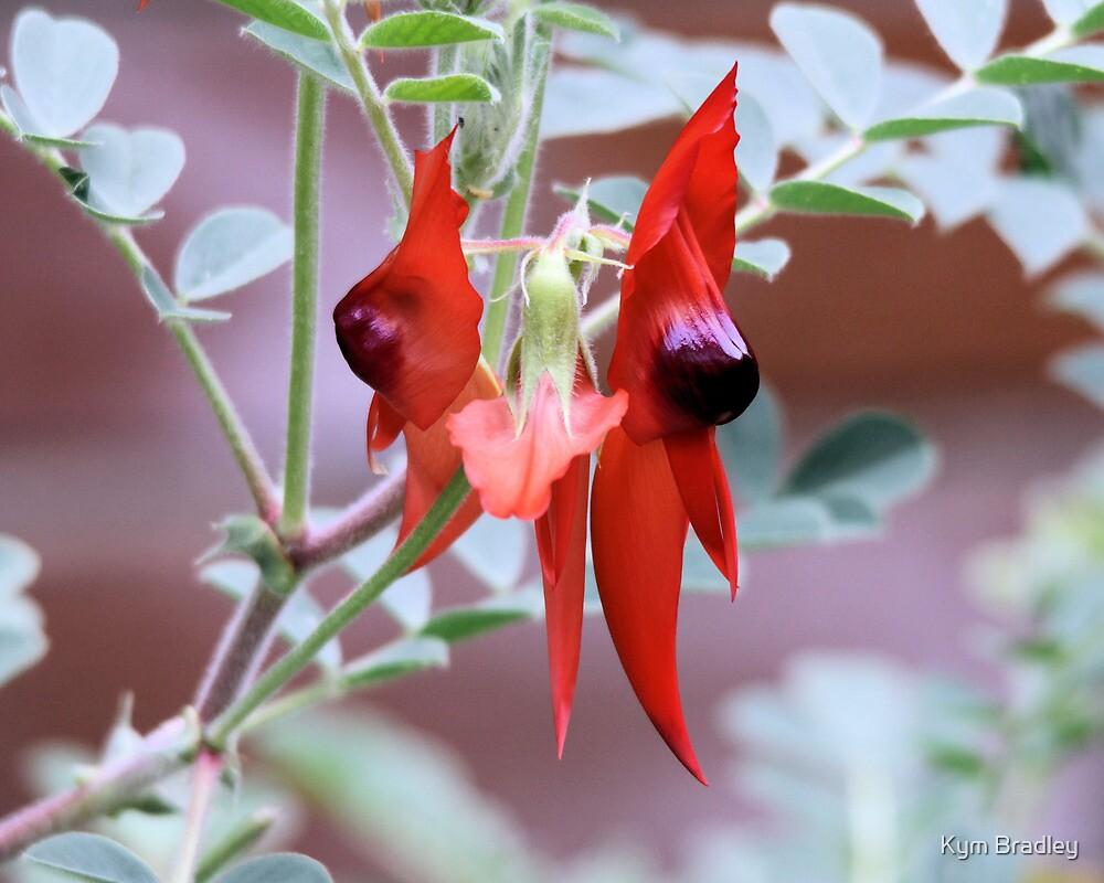 Stuart Desert Pea Flower by Kym Bradley