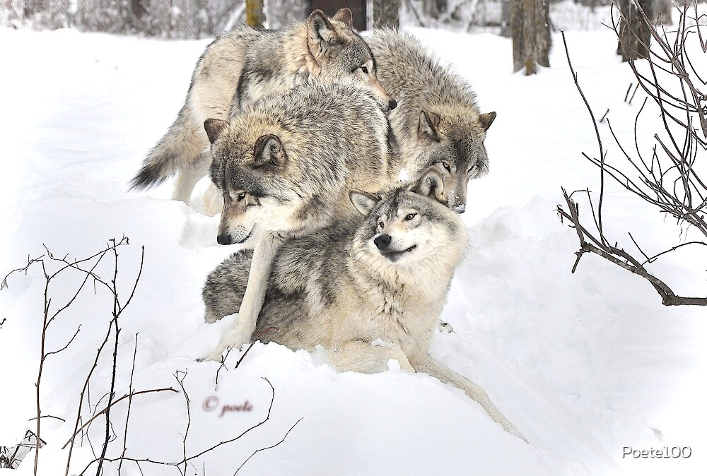 Wolves at play by Poete100