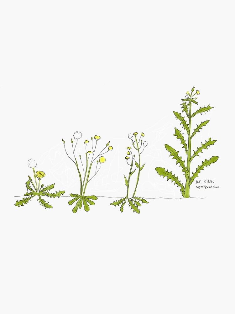 Dandelions by wyntkan