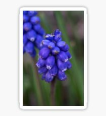Grape hyacinth Sticker