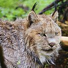 Canadian Lynx by Jean Knowles