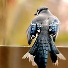 Blue Jay by Robin Black