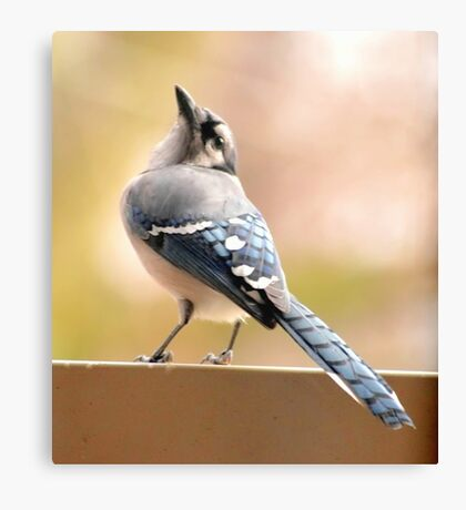 Winter Blue Jay Canvas Print